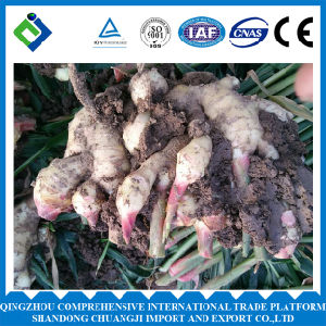 2016 Chinese Fresh Ginger with High Quaulity pictures & photos