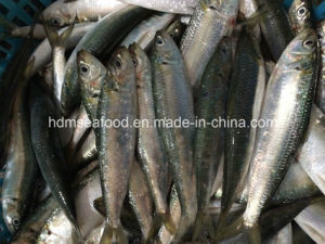 High Quality Frozen Seafood Fish Sardine for Bait (Sardinella aurita) pictures & photos