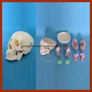 Direct Factory Supplied Human Skull Model for Medical Science pictures & photos
