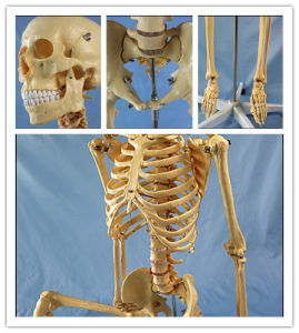Science Education 170cm Human Skeleton Anatomical Plastic Model