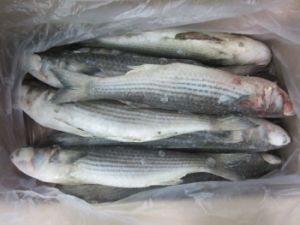 Frozen Grey Mullet Gutted pictures & photos