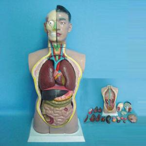Medical Human Body Parts Anatomy Torso (R030102) pictures & photos