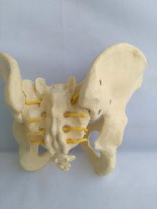 Lab Demonstration Human Female Pelvis Medical Care Skeleton Model (R020804) pictures & photos