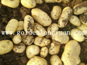 Fresh New Crop Potato Good Quality From Shandong pictures & photos