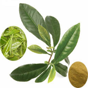 Anti-Oxidant: Green Tea Extract/ 98% Polyphenol pictures & photos