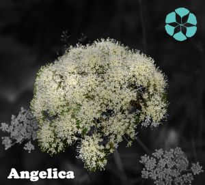 Angelica Extract / Sinensis (Oliv.) Diels / Polysaccharides pictures & photos
