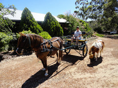 Pony Sulky Horse Cart Carriage (BTH-05)