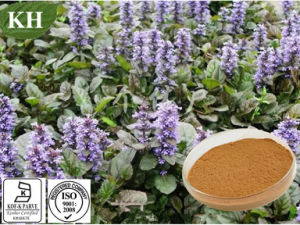 Pure Natural Ajuga Turkestanica Extract 10: 1 pictures & photos