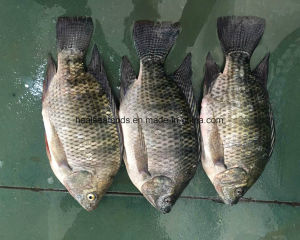 Chinese Frozen Tilapia Ship for Dar Es Salaam pictures & photos