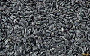 Black Oil Sunflower Seeds 562