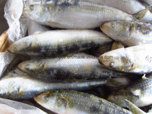 Best Frozen Sardine Factory From China pictures & photos