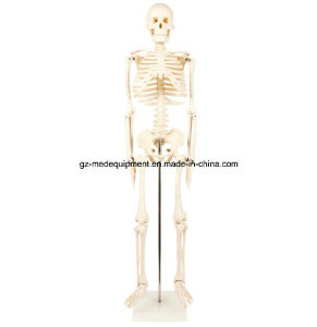 Life Size Plastic Human Torso Cat Dog Fetal Skeleton pictures & photos