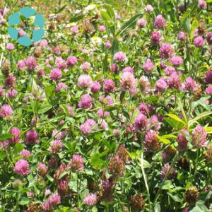 Red Clover Extract / Trifolium Pratense Extract / Isoflavones pictures & photos