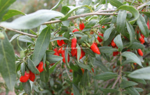 Dired Goji Berry Origined From Ningxia (0005) pictures & photos
