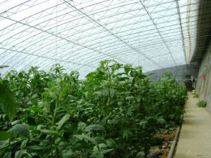 Cheapeat Solar Greenhouse with Hydroponic System pictures & photos