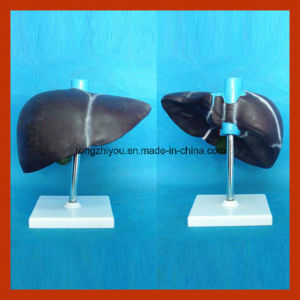 Medical Human Liver Model for Teaching
