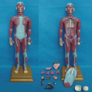 Human Medical Anatomical Muscular System Model (R030111) pictures & photos
