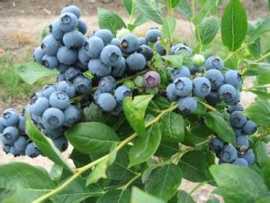 Blueberry Juice Powder for Beverage and Food Flavor pictures & photos