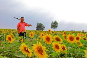 Export Sunflower Seeds 363 Made in Hetao Plain pictures & photos