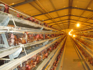 Automatic Layer Chicken House with Cages and Equipments pictures & photos