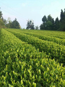 Green Tea of Organic pictures & photos