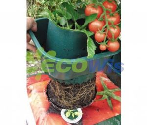 Growing Tomato Plants in Pots (HT5720) pictures & photos