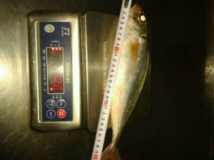 Red Tail Horse Mackerel pictures & photos