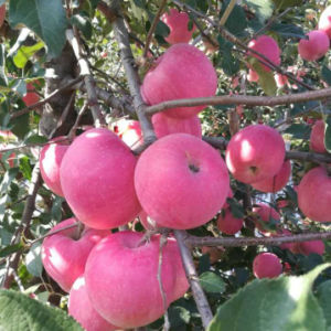 A Grade New Fresh Good Quality FUJI Apple pictures & photos