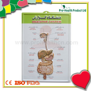 Anatomical Medical 3D Wall Poster For Hospital pictures & photos