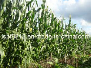 Fronzen Corn