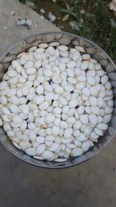 Hot Sale Snow White Pumpkin Seed 15mm pictures & photos