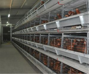 Automatic Chicken Poultry Cage Farm Equipment (H frame) for Pullet & Small Chicken for Sale pictures & photos