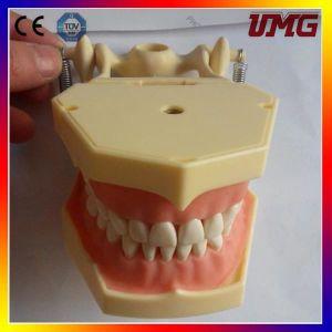 Medical Dental Models for Sale pictures & photos