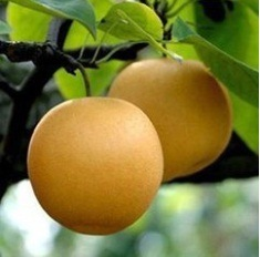 High Quality Fresh Chinese Fengshui Pear pictures & photos