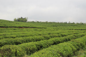 Flavour Tea Organtic Chinese High Quality Fruit Green Tea pictures & photos