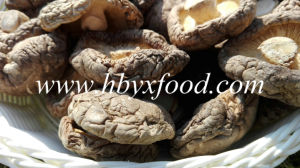 Facial Smooth Shiitake Mushroom Spawn pictures & photos