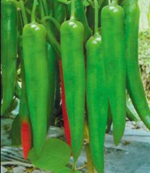 New Fengjiao No. 2 Hybrid Pepper Seed