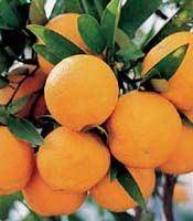 Manufacturer Bulk Supply Citrus Aurantium Fruit Extract Powder pictures & photos