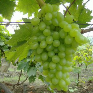 Chinese Fresh and Sweet Green Global Grape pictures & photos