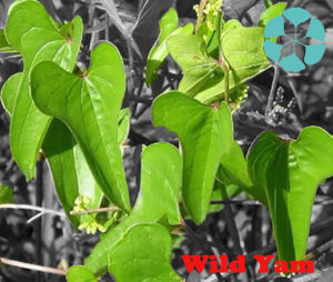 Wild Yam Extract / Dioscorea Oppositae Thunb / Diosgenin pictures & photos