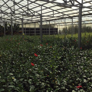 Good Quality Commercial Film Greenhouse and Glass Greenhouse pictures & photos