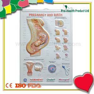 Anatomical Medical 3D Poster For Education pictures & photos