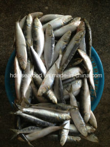 Frozen Sardine Seafood Fish for Bait pictures & photos