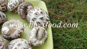 Brands Mushrooms, White Flower Shiitake, Healthy Vegetable pictures & photos