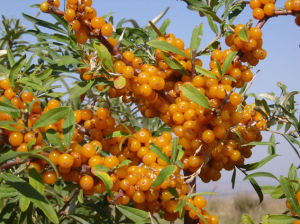 High Quality Seabuckthorn Oil Softgel, Seabuckthorn Oil & Seabuckthorn Extract pictures & photos