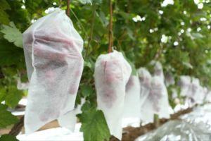 Grape Breathe PP Spunbond Non Woven Fruit Cover pictures & photos