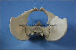 Adult Female Pelvis Model Teaching Anatomical Model pictures & photos