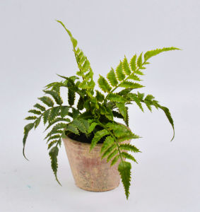 Various Green Grass in Clay Pot pictures & photos