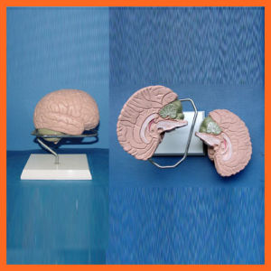 Brain with Arteries Model for Laboratory (2 pieces) pictures & photos