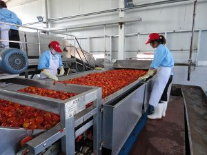 Tomato Washing Machine pictures & photos
